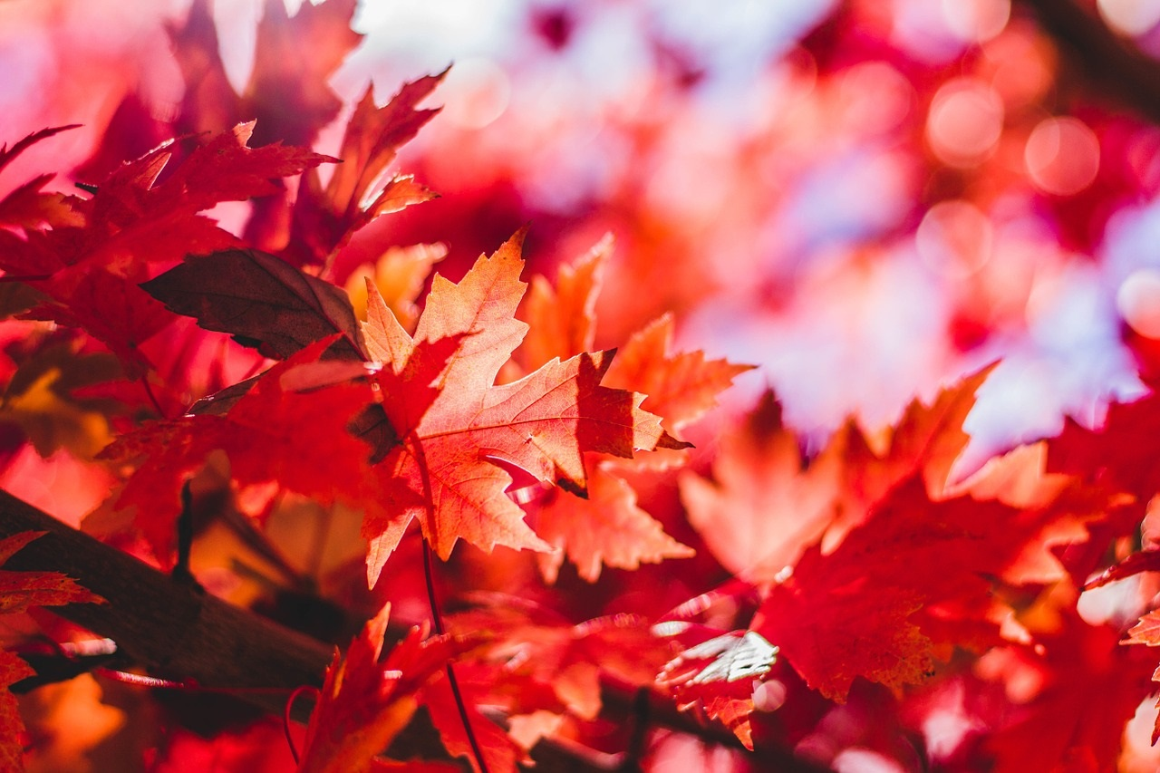 maple-leaves-1209695 1280